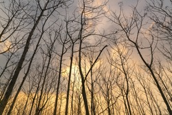 look up into the treetops silhouette with sunset cloud,