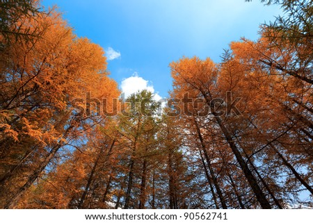 look up the trees and the sky in autumn - stock photo