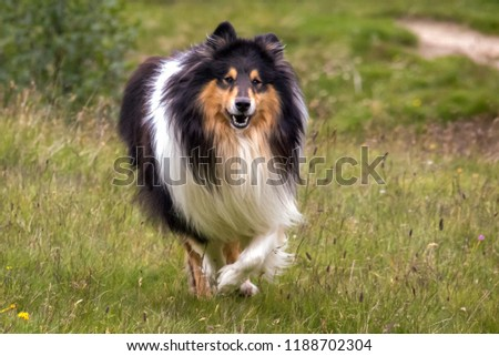 Looking at a Scottish (or Scotch, Rough) Collie in a Swiss mountain field. The Scotch Collie is a landrace breed of dog which originated from the highland regions of Scotland.