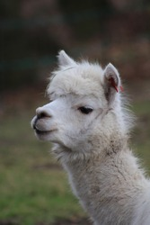 Looking at the head of a white alpaca