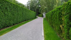 Looking down a gravel path of a tall hedge maze. No people. Path surrounded on both side by a tall hedgerow in a formal garden