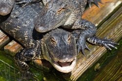 Looking down at a close up of the head of an american alligator resting under another gator, with an open mouth full of teeth, in Florida, USA