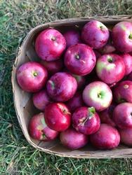 Looking down on a wooden basket of freshly picked macintosh apples