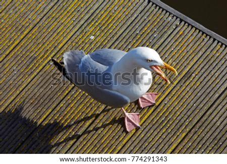 Looking down on the European Herring Gull (Larus argentatus) on Weymouth boardwalk