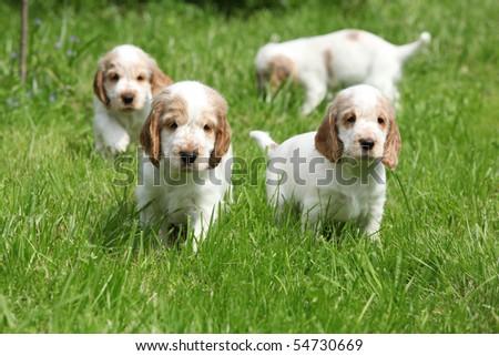 Cocker Spaniel Puppies on Looking English Cocker Spaniel Puppy Stock Photo 54730669