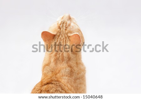 looking ginger cat