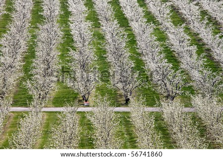 Looking into a blooming apple orchard with 4 bee hives in it.