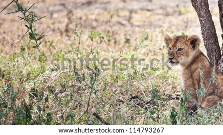 Looking of fun / A lion cub sits next to a tree and searches the tall grass for anything to pounce on. Serengeti National Park, Tanzania.