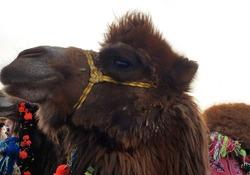 Looking sideways camel on white background