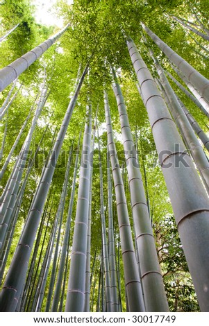 Looking up a bamboo grove in Kyoto - stock photo