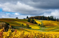 Looking up a hill covered with golden vines in October in an Oregon vineyard under a blue sky with gray clouds.