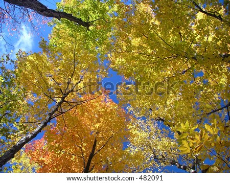 Looking up a maple forest in fall