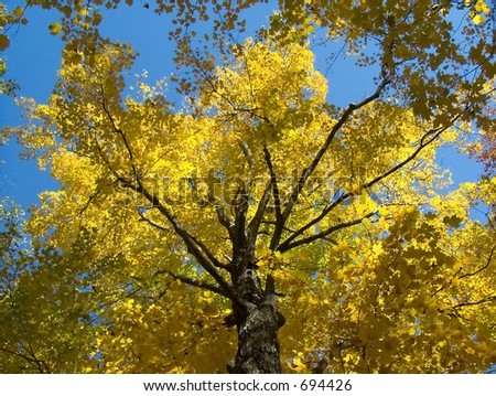 Looking up a maple with yellow leaves