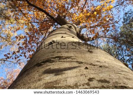 Looking up a tall tall beech tree #1463069543