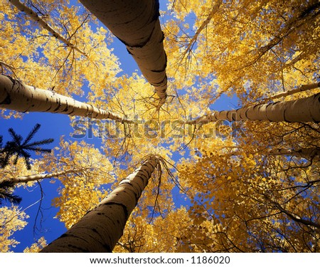 Looking up at a canopy of yellow leaves, formed by aspen trees, in the Arapaho National Forest, of Colorado, during the autumn season.