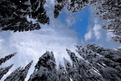 Looking up at a partly sunny sky through a circle of snow-covered evergreen trees in Snoqualmie Pass, WA