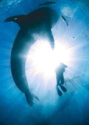 Looking up at a whale shark that is silhouetted against the sun shining through the surface