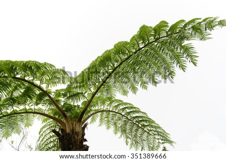 Looking up at canopy of lepifera tree fern in tropical forest
