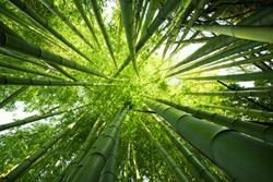Looking up at exotic lush green bamboo tree canopy