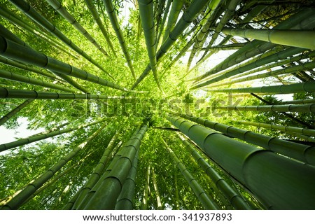 Looking up at exotic lush green bamboo tree canopy #341937893