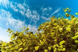 Looking up at overgrowing Japanese knotweed, Japanese knotweed is an invasive species which is difficult to remove