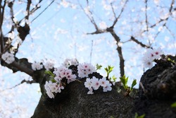 Looking up at the sakura tree trunk, the bokeh background branches and the blue sky