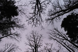 Looking up at the sky in the forest at dusk. Trees are silhouetted in the low, evening light, their bare branches seem eerie and foreboding. Perspective shot.