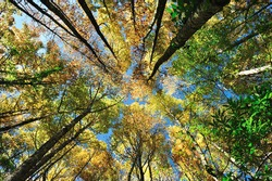 Looking up at the yellow, orange, and green tops of trees.