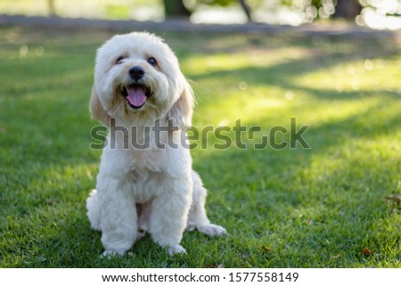 Photo of  Looking up brown cute poodle puppy sitting on ground, Cute white poodle dog on green park, animal, relax pet, puppy poodle dog sit down looking, smile poodle dog