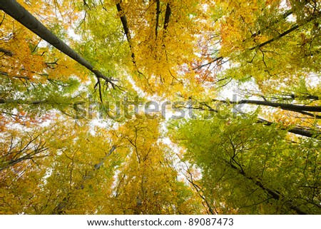 Looking up in a beech tree forest in autumn. Low angle shot.