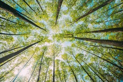 Looking Up In Beautiful Pine Deciduous Forest Trees Woods Canopy. Bottom View Wide Angle Background. Greenwood Forest. Trunks And Branches With Fresh Spring Lush.