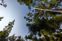 Looking up into the blue clear sky along the tree trunks of pine trees. Early in the morning when the sun rises, look up in a pine forest clearing. Sun rays reflect on the tree bark. View in the sky
