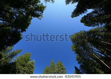 looking up into the blue sky through a forest of redwood trees - stock photo