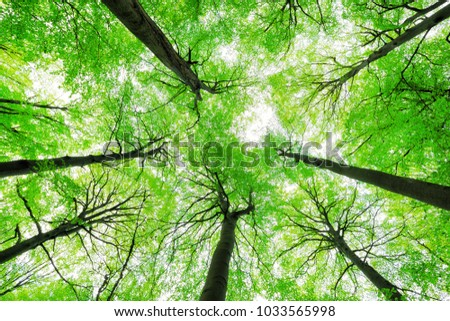 Looking up into the Canopy of a Beech Tree Forest - Shutterstock ID 1033565998