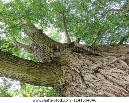looking up into the crown of a mature specimen or veteran  Salix alba or white willow which is a native tree in England showing deep fissured bark and surrounding green leaves