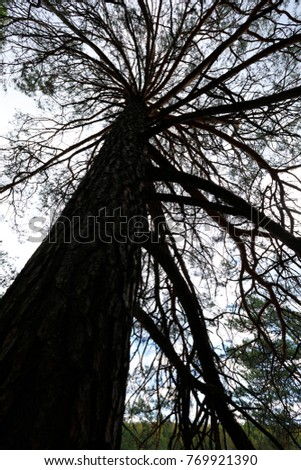 looking up of a big pine tree   #769921390