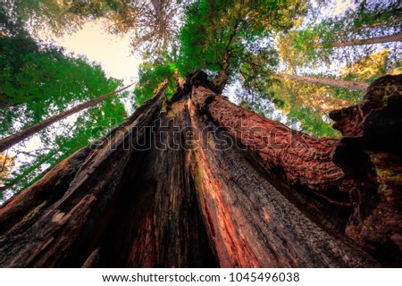 Looking Up, Redwoods National & State Parks, California
