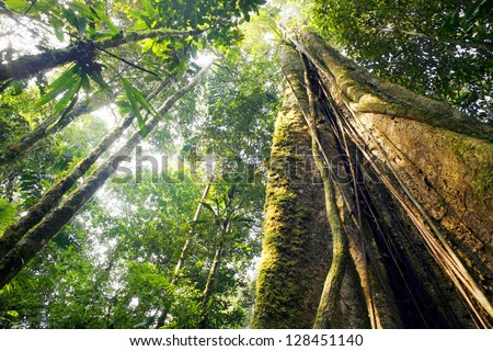 Looking up the trunk of a giant rainforest tree to the canopy, Ecuador