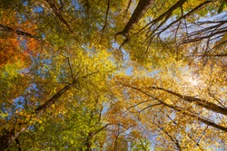 Looking up through a forest of colorful trees in Blue Ridge Mountains at a blue sky with white clouds. Colorful autumn background.  Near  Asheville, North Carolina, USA.