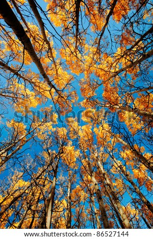 Looking up through a grove of tall aspen trees outside of Babb, Montana.