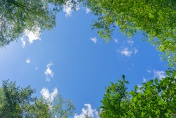Looking up through the treetops. Beautiful natural frame of foliage against the sky. Copy space.Green leaves of a tree against the blue sky. Sun soft light through the green foliage of the tree.