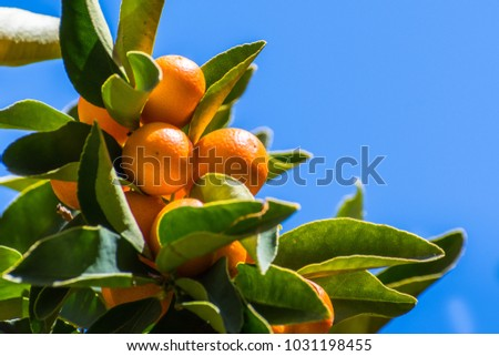 Looking up to ripe Kumquat fruit on a tree branch; blue sky background; San Francisco bay area, California #1031198455