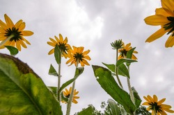 Looking up to the sky view of Black Eyed Susans in a garden