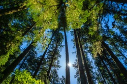 Looking up to towering trees with sun shining through the foliage, Olympic National Forest, Olympic Peninsula, Washington state, USA.