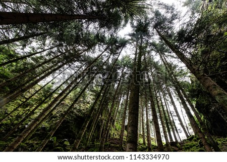 Looking up towards amazing forest green canopy, extreme wide angle, Schwarzwald, Germany.