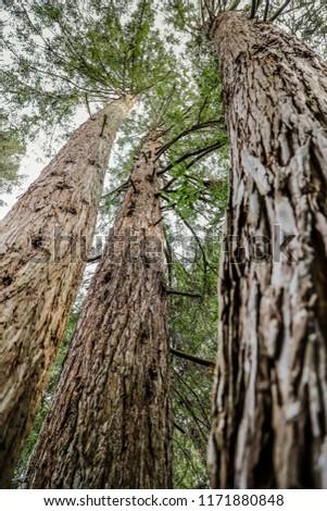 Looking up trees in San Francisco Botanical Garden #1171880848