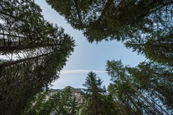 Looking upwards you can see a blue sky among the tall trees in which the wake of an airplane has remained