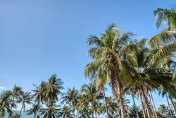 lookingup the blue sky at the coconut tree foliage