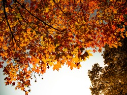 Lookup for branches of an autumn colors maple tree with a clear sky