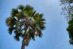 lookup pritchardia pacifica tree against the blue sky
